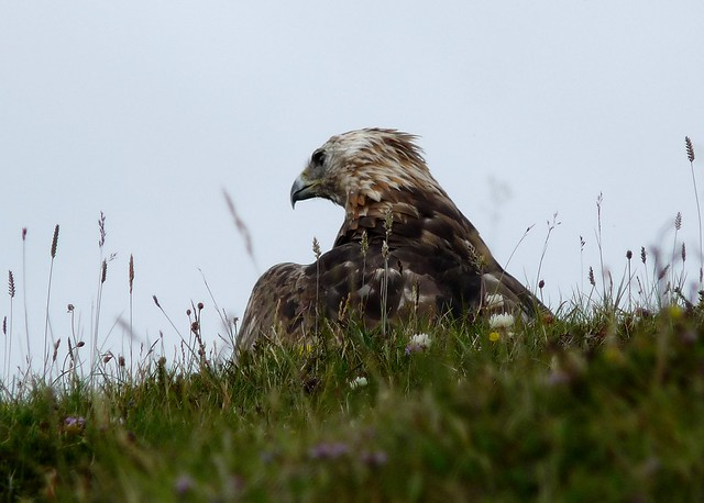 24672 - Golden Eagle, Isle of Mull