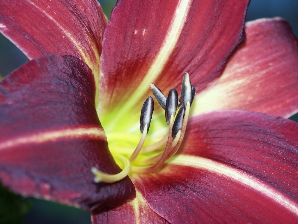 Day lily down the throat