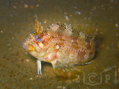 tompot blenny (zadok priest) Tags: uk england canon britain scuba diving bsac british padi channel blenny g9 ikelite tompot mygearandme