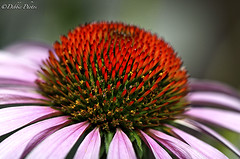 Purple Coneflower (D. Photos) Tags: brooklynbotanicgarden purpleconeflower macrophotography debbiephotos platinumheartaward brooklynbotanicgardenflowers dblringexcellence tplringexcellence brooklynbotanicgardenmacrophotography brooklynbotanicgardennature brooklynbotanicgardenpurpleconeflower