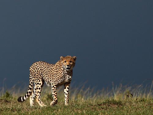 20119 Inky Cheetah, Masai Mara