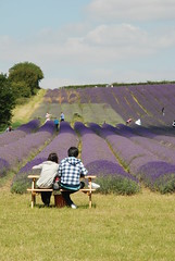 Great place to take in the view (Hitchin Lavender) Tags: lavender hertfordshire ickleford hitchinlavender cadwellfarm
