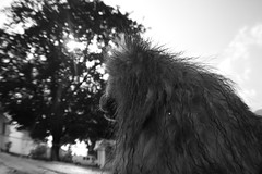 Carried Thoughts. (Tori Paletta) Tags: portrait bw pose outside backyard billy pomeranian tori paletta canonrebelt1i