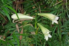 瀬上市民の森のウバユリ(Lily, Segami Community Woods)