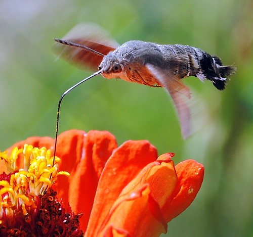 fly like a hummingbird  ( Macroglossum stellatarum )