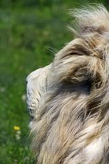 Lion blanc 2 (sylvain.landry) Tags: travel family sky france art nature canon photography eos photo lomo europe raw photos best des dos 5d dslr handicap reims parc ballade vacance sylvain landry mkii seve 5stars bigfav rameau félins nesles remois 5dmkii eos5dmkii sylvainlandry