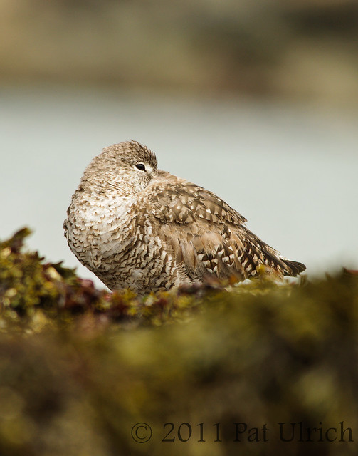 Resting willet at Pillar Point Harbor - Pat Ulrich Wildlife Photography