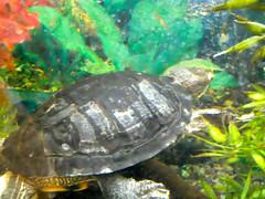 pets cute animals swimming aquarium turtle adorable fishtank slider redearedslider swimswimswim