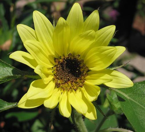 """Sunflower """"Garden Statement."""" by Leenechan"""