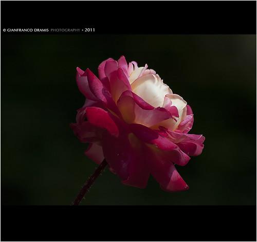 Rosa rosae rosae rosam rosa rosa...