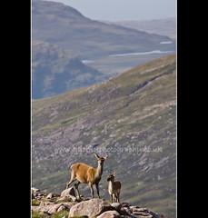 Red Deer in the Scottish Highlands (cjdolfin) Tags: mountains nature mammal scotland alba wildlife young mother highland fawn hind reddeer westerross applecross rossshire cervuselaphus passofthecattle dramaticscenery bealachnab cervid