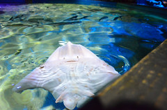 When I See You Smile (hurricane drunk) Tags: life blue sea fish water smile face eyes ray stingray sting center scarborough fins sealifecentre