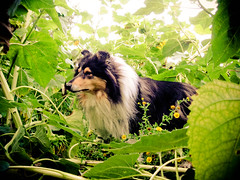 jungle times (Hermio-Black) Tags: dogs collie candy country sunflowers lassie thelittledoglaughed impressedbeauty
