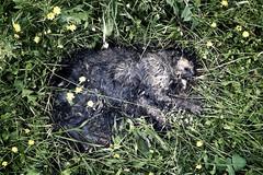 (vito72) Tags: street urban grass cat dead lumix decay panasonic rotten lx5 vitotammone vito72