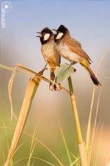 على غصن الشوق،،،حبايب (Faisal Alzeer) Tags: bird birds nikon arabia riyadh faisal ksa على saudis فيصل السعودية الرياض العربية طير عصفور المملكة الشوق طيور nikkor300mm نيكون ابيض عصافير fnz بلبول الخد حبايب بلبل غصن بلابل d300s الزير alzeer abonasser ابوناصر دي٣٠٠اس نيكور٣٠٠