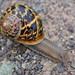 Garden Snail Pegwell Bay
