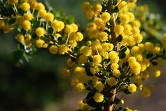 COP Acacia acinacea ad