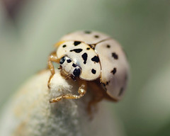 Ash grey lady bug (Ronnie Fituci) Tags: macro blackwhite beetle tokina ladybug af ladybugs f28 macrobugs tokina100mmf28atxprod tokina100mmf28atxm100afprod greyladybug