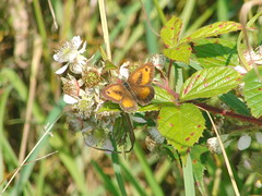 Copper Butterfly (Alex Staniforth: Wildlife/Nature Photography) Tags: summer alex photography cheshire photos outdoor wildlife group pic casio staniforth stani exfh20