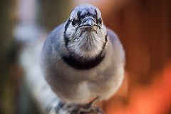 bluejay face taken with Canon EOS Lens