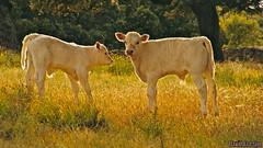 Terneras (crespo1989_1) Tags: trees espaa green grass animal cow spain rboles amarillo ganado salamanca calf res bovine campos vaca ternera hierba bovino campa tormes cespedosa