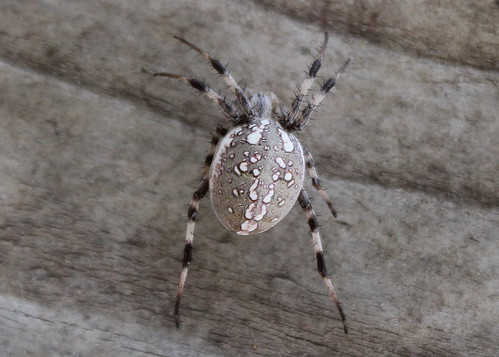 Garden spider in the house
