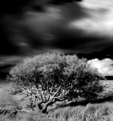 Tree in a field in backlane [1] (Dave Road Records) Tags: trees ireland blackandwhite infrared countymayo irishlandscapes carrowmorelake