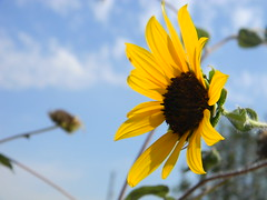 Rightside Sunflower (Danny_Gar) Tags: sky sun flower blue clouds yellow brown plant right side close up pretty beautiful color big stem focus blur bright petals missing alive gleaming shining