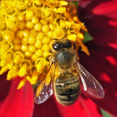 Honey bee working on a dahlia (Foto Martien (thanks for over 2.000.000 views)) Tags: dahlia flower holland colour macro netherlands fleur dutch mexico colorfull flor nederland blume coloured asteraceae veluwe centralamerica kleurrijk bloem macrophoto kleuren polychrome bont harskamp veelkleurig macrofoto apismellifera kleurig gardenflower honingbij macroopname zorgboerderij asteroideae balars westernhoneybee westlichehonigbiene avette europeanhoneybee a550 pszczoamiodna friendoffriends tuinbloem zorginstelling europischehonigbiene apeeuropea abejaeuropea abeilleeuropenne mouchemiel passiflorahoeve abejadomstica abejamelfera martienuiterweerd martienarnhem sonyalpha550 mygearandme mygearandmepremium minoltamacro100mm28mm mygearandmebronze mygearandmesilver mygearandmegold mygearandmeplatinum mygearandmediamond fotomartien northwesternsouthamerica europesezwartebij huisbij westelijkehoningbij