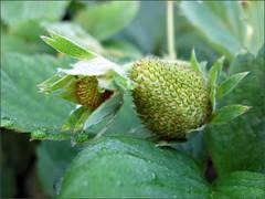 Little green strawberries