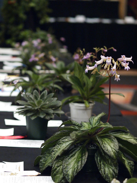 Flowering Chirita at the Convention