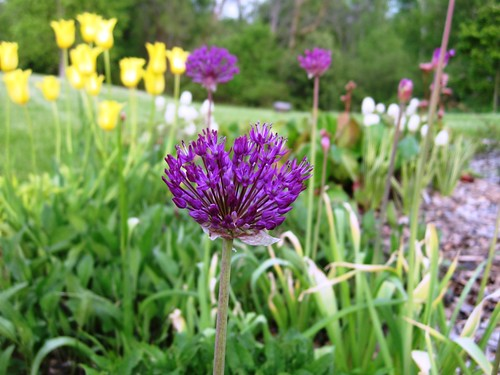 my favorite allium...so bright