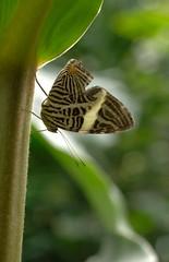 upside down (Paul Honig) Tags: nature butterfly tropical vlindersaandevliet coloburadirce dircebeauty