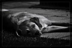 """Do Not Disturb"" (diechrom) Tags: bw dog dogs animals tiere hund sw hunde chromik dchro dietmarchromik bwphotographie"