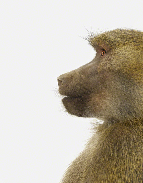Baboon Profile