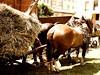 P7107939 (Gianluigi Bertin) Tags: horse campagna antiquariato semina trattore vigneto forestale frutteto contadino giardinaggio cassone irrigazione trebbiatura forwarder agricolo rimorchi orticoltura agricoltore coltura stoccaggio mietitrebbie rotopresse arboricoltura falciatrici cavalloagricoloitalianodatiropesanterapido spandiconcime antiquariatoagricolo fieniazione aratrici erpici mietitrici stoppiatori vendemmiatrici esboscatori segaacatena ilariobortuzzo