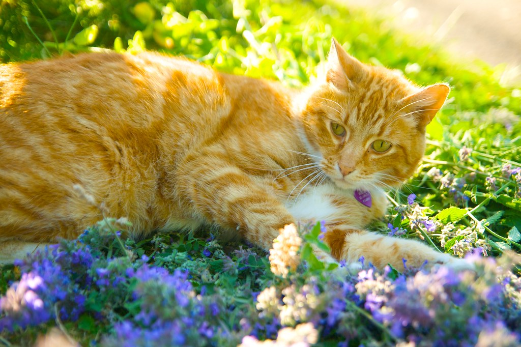 Orange Cat in Catmint  376