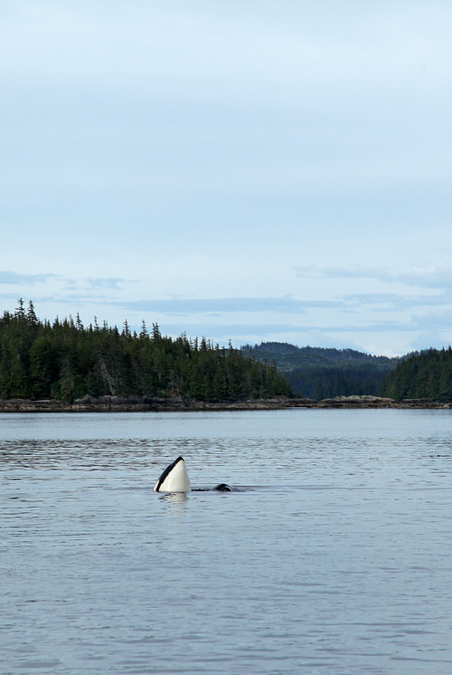 killer whale head, Karta Bay, Alaska
