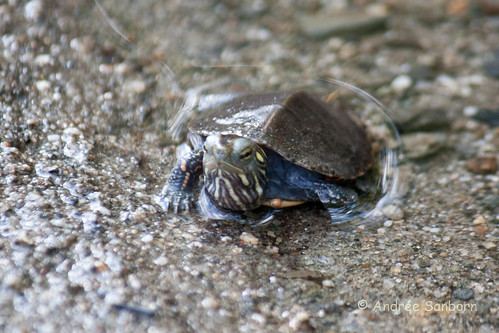 Our Baby Painted Turtle (Chrysemys picta)-42.jpg
