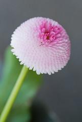 Bubbly (NA.dir) Tags: flower strange garden petals sweden gothenburg tubes