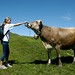 As vacas usam sinos enormes em seus pescoços