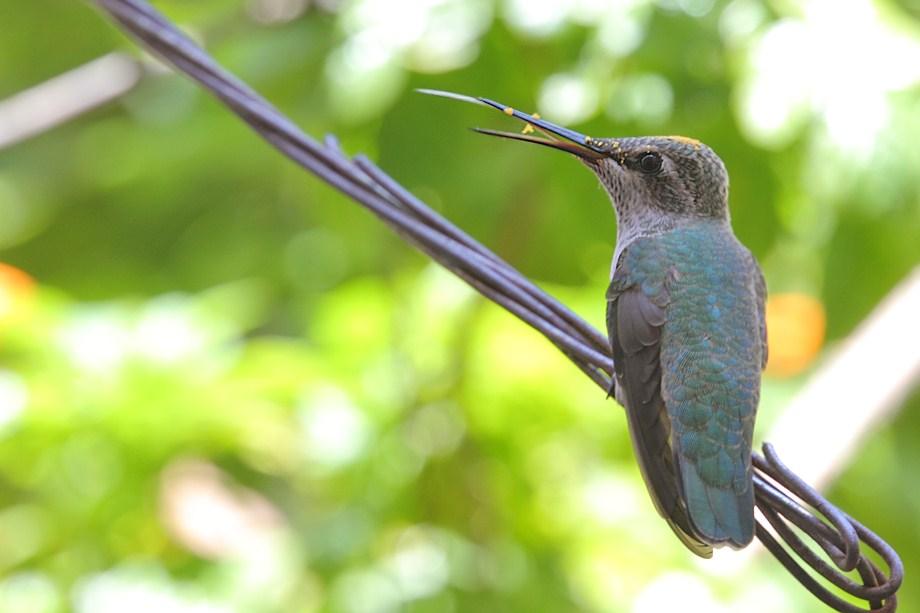 Immature Anna's Hummingbird 071511-2