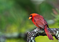 Cardinal (Canter Photography) Tags: bird nature nikon wildlife cardinaliscardinalis northerncardinal 600mmf4 14teleconverter nikond3s