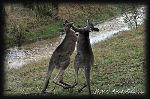 Two young bucks boxing