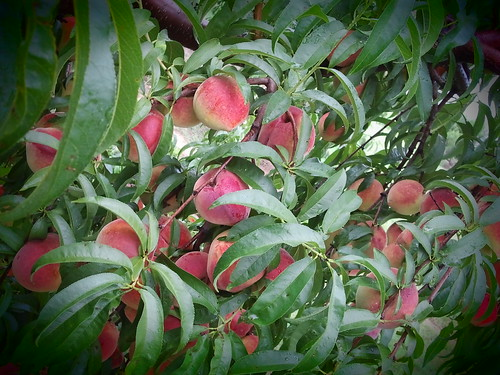 Peaches at Cull Fruits