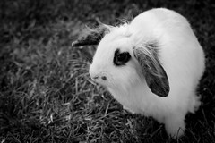 Pet Rabbit (thevisualeffect.com (JD Malave)) Tags: pets rabbit animal canon outdoors spain rota tamron2875mm t2i