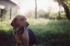Ficelle (Ludovic Macioszczyk Photography) Tags: ficelle dog chien animal canon ae1 135 fuji 1600 iso countryside sweet shine light country plant woods bois summer france ludovic macioszczyk analog photography film pellicule no flash fd 50mm 18 vintage camera photo photographie argentique trees keep alive ludos photographs dof 2009 35mm natural spring life shoot art limousin holidays vacances colors color portrait landscape nature 87 sunny champs bokeh sun picture world photographe exposure négatif développement scan appareil lumière vie © most interesting