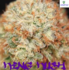 King Kush CloseUp2 (Humboldt Relief) Tags: weed 420 pot marijuana herb cannabis ganja medicalmarijuana medicalcannabis cannabisindica humboldtrelief