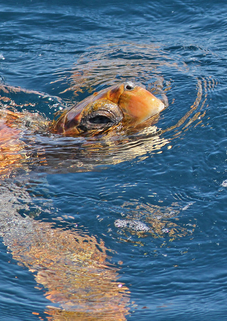 Loggerhead Sea Turtle - east of West Atlantis Canyon, Massachusetts - 16 July 2011