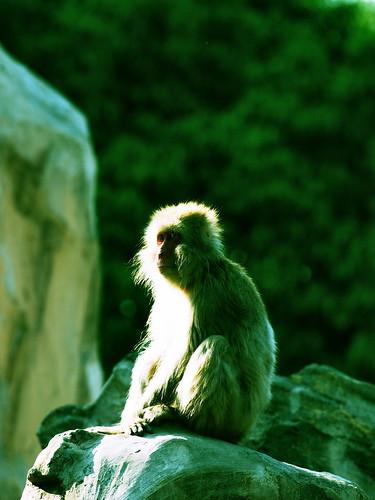 上野動物園 ニホンザル